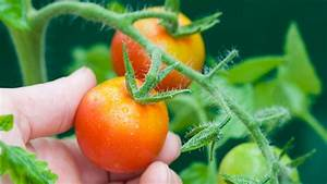Pferdemist Für Tomaten : braunf ule bei tomaten vermeiden tipps ~ Watch28wear.com Haus und Dekorationen