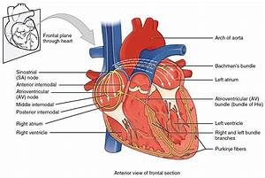 Cardiac Muscle And Electrical Activity  U00b7 Anatomy And