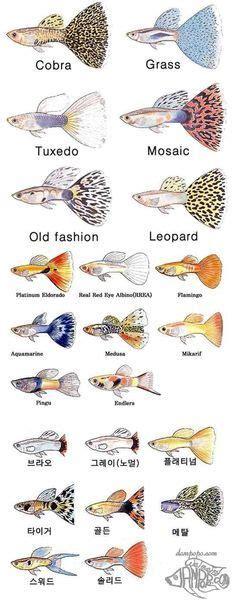 guppy types rainbowfish millionfish guppy