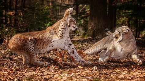 Animals Fight Lynx Wild Cat Wallpaper (#2795987