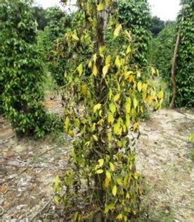 tips pengendalian penyakit busuk pangkal batang tanaman