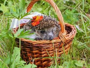 Bilder Von Igel : fotos von igel tiere ~ Orissabook.com Haus und Dekorationen