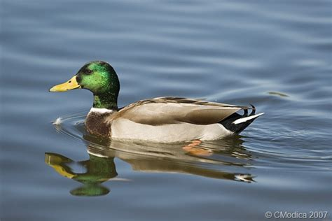 images of ducks ducks