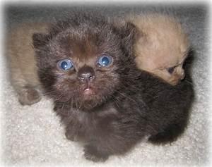 25 Adorable Teacup Persian Cat Full Grown