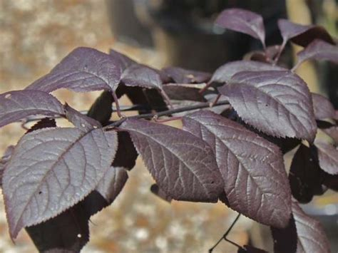 purple leaf trees identification black plum flowering plum prunus cerasifera nigra
