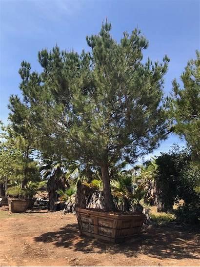 Pinea Pine Italian Stone Pinus Trees Ms