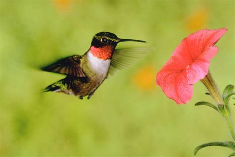 bird sounds and calls of the ruby throated hummingbird