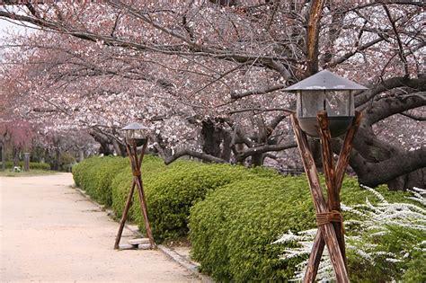 cherry blossom report  osaka report
