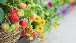 Erdbeeren Richtig Pflanzen : heidelbeeren richtig pflanzen mein sch ner garten ~ Lizthompson.info Haus und Dekorationen