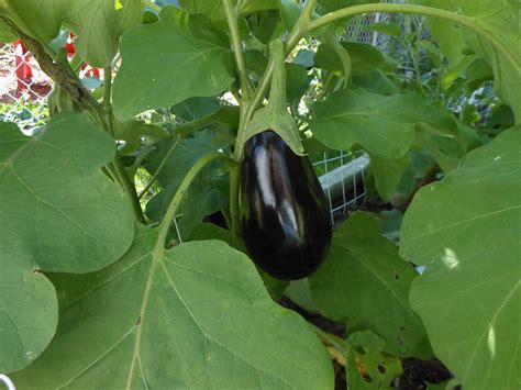 Eggplant Growing and Gardening - TradersCreek.com