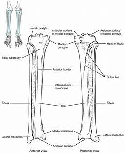 The Appendicular Skeleton  Lower Limb