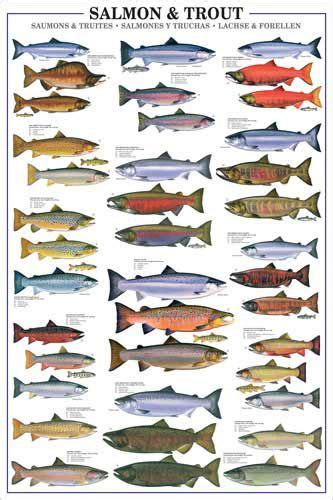 salmon  trout fishing wall chart  species poster