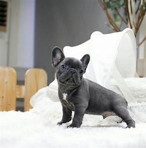 Hundebekleidung Französische Bulldogge : franz sische bulldogge welpen franz sische bulldogge ~ Frokenaadalensverden.com Haus und Dekorationen