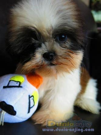 dunia anjing jual anjing shih tzu super cute shih tzu