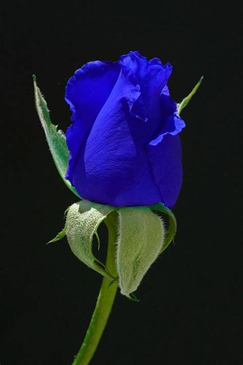 17 Best ♥ The Perfect Purple Rose ♥ Images On Pinterest