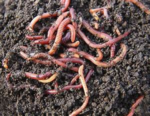 Let composting worms lend a hand countryside network for Worms