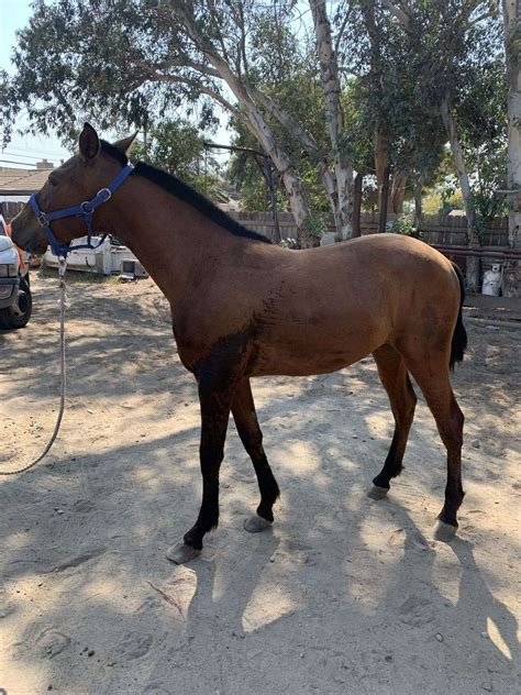 andalusian horse equinenow yearling