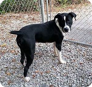 Amos | Adopted Dog | Irwin, PA | Boxer/Border Collie Mix