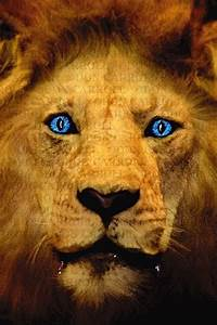 Lion Eyes Blue | www.pixshark.com - Images Galleries With ...