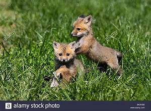 Baby Red Fox | www.pixshark.com - Images Galleries With A ...