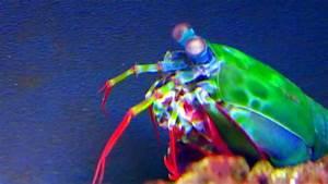 Peacock mantis shrimp colorful shrimps digs itself a U ...