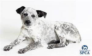 Katie (ID#23868149) 4 month old, female, white and black ...