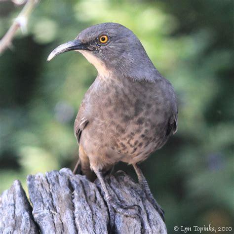 northwestbirding com quot arizona birds quot