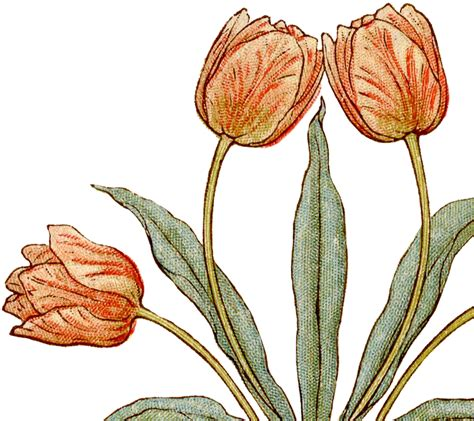 pretty vintage tulips illustration  graphics fairy