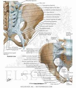 Bones and Ligaments of Pelvis