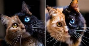 Chimera Cat Gains Online Fame Thanks to Its Perfectly ...