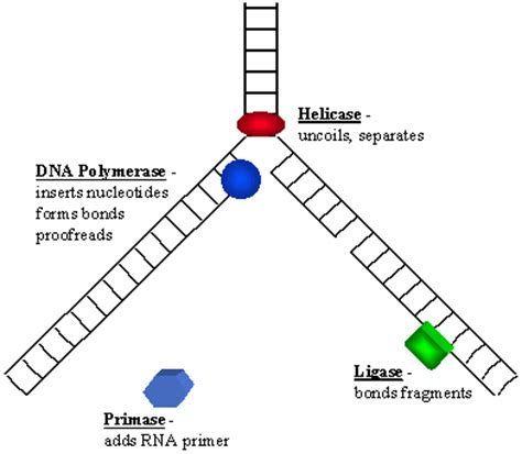 the enzyme uses atp to unwin dna template dna polymerase causes symptoms treatment dna polymerase