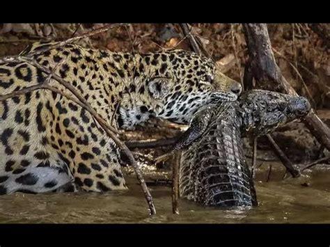 Jaguar Vs Caiman by Black Caiman Buzzpls