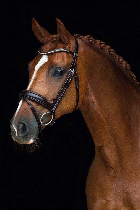 bridle dressage schockemohle stanford sports brand horse saddlery malvern equipe rolled tack flash schockemoehle bridles equestrian english supplies cob horsegarage
