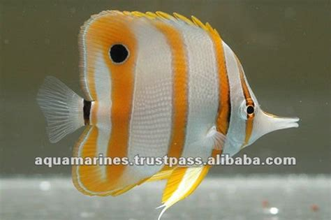 sri lanka tropical fish aquarium fish ornamental fish
