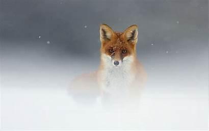 Fox Animal Snow Wildlife