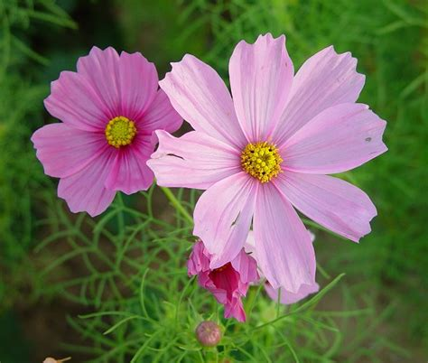 cosmos flower flowers for flower lovers cosmos flowers wallpapers