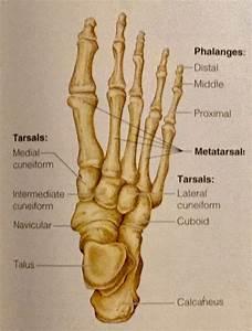 Bone Anatomy Quizlet