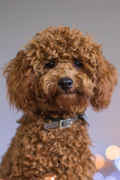 cute toy poodle doggies images  pinterest