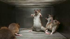 Rat vangen in huis