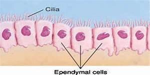 Ependyma