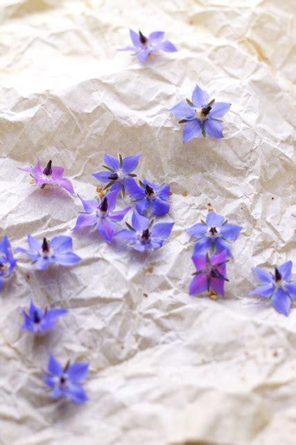 fiori di borragine ricette torta rustica di ricotta e borragine
