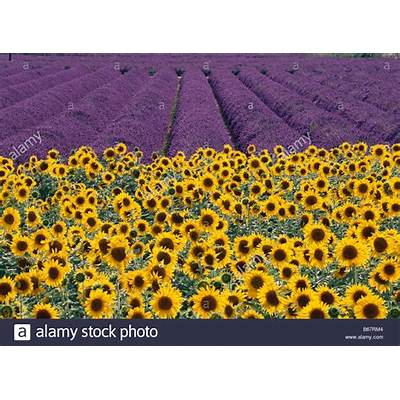 Sunflowers and lavender fields Provence France Stock