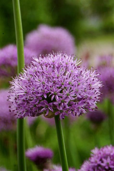 allium hollandicum avon bulbs