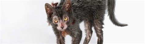 The Werewolf Cat Proves We've Taken Breeding Too Far ...