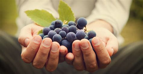 organic grapes wine vinepair