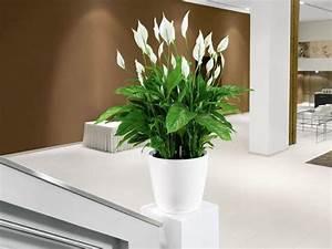 Bloeiende kamerplant lepelplant online kopen Fleurdirect