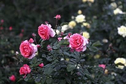 Garden Cecilia Flea Treasures Roses Market Maria