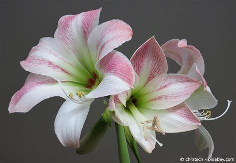 wie pflege ich amaryllis nach der blüte die amaryllis eine subtropische sch 246 nheit in deutschen gefilden garten hausxxl garten
