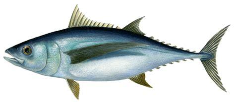 comment cuisiner les petoncles thon marine stewardship council