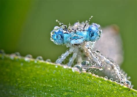 Macro Photographs Of Dew Covered Dragonflies And Other